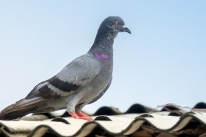 Pigeon Control, Pest Control in Soho, W1. Call Now 020 8166 9746