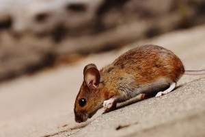 Mice Control, Pest Control in Soho, W1. Call Now 020 8166 9746