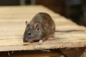 Rodent Control, Pest Control in Soho, W1. Call Now 020 8166 9746